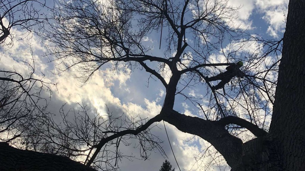 Ash tree trimming with sky background