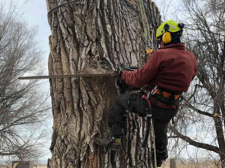 Cottonwood removal with large chainsaw
